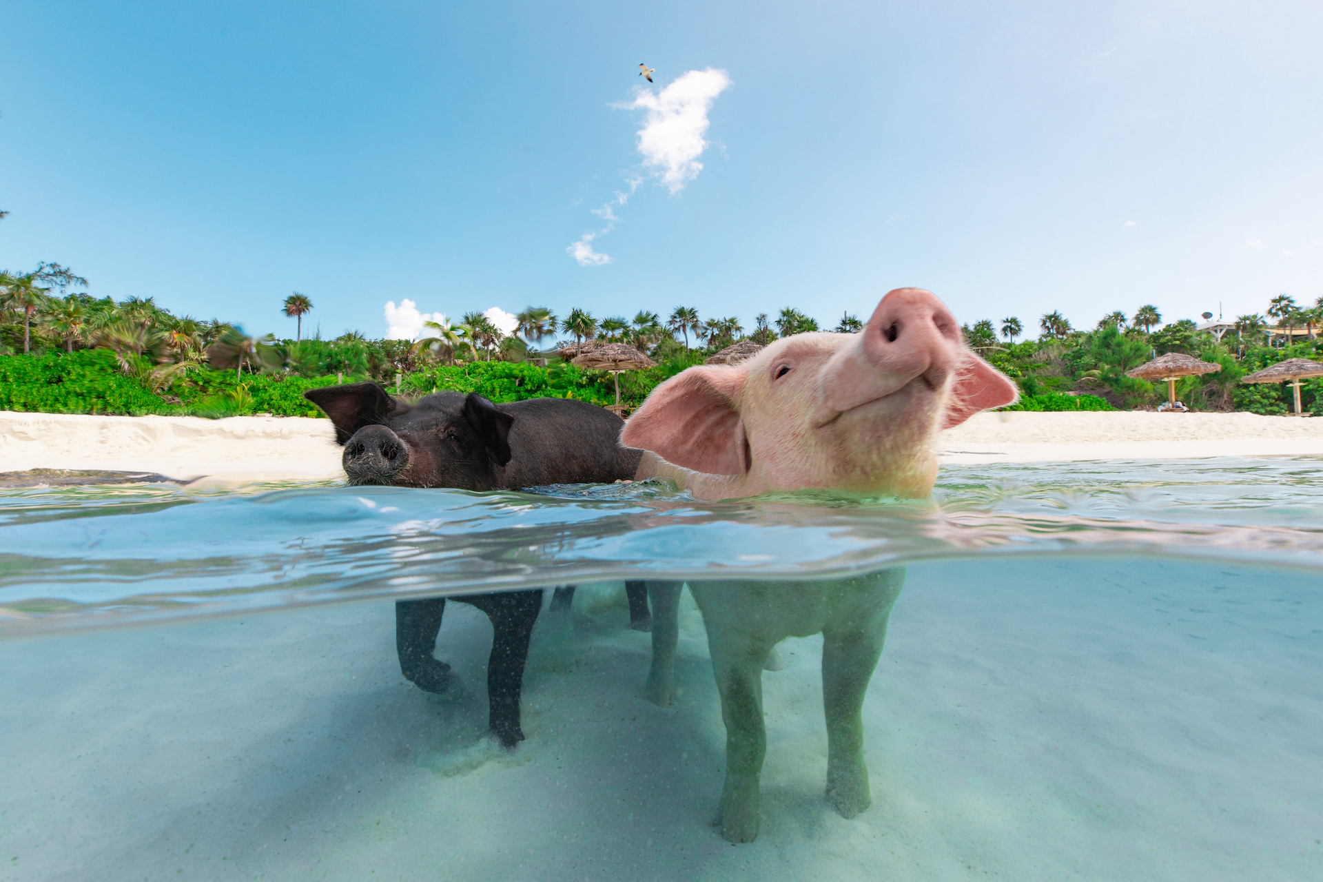 All About The Bahamas' Swimming Pigs