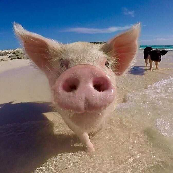 The Bahamas' Swimming Pigs: Guest Photos