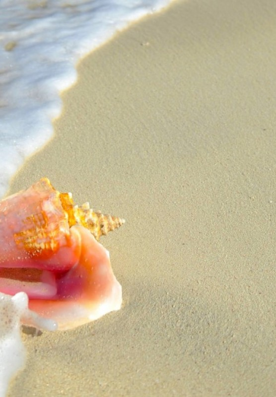 A conch shell on a beach in the Bahamas.