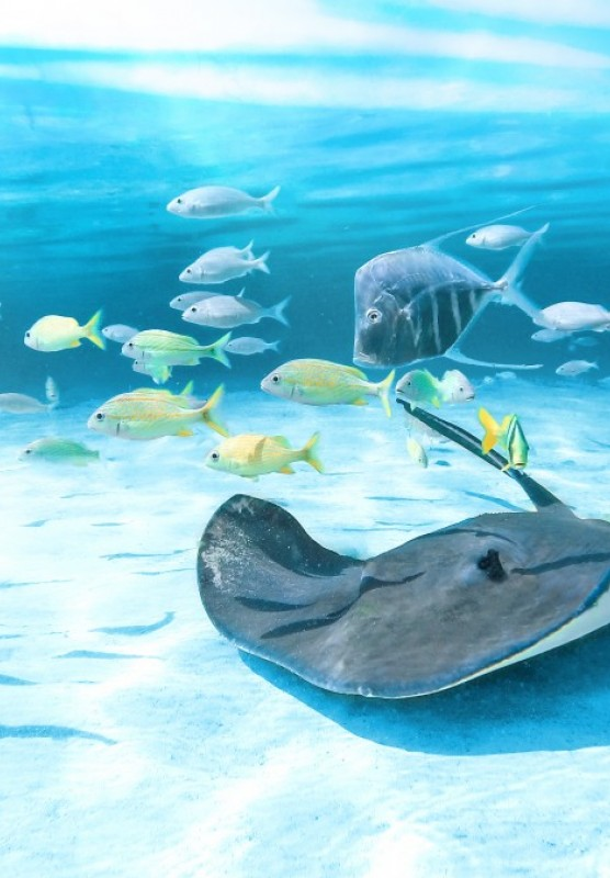 An underwater photograph of a stingray and some fish swimming.