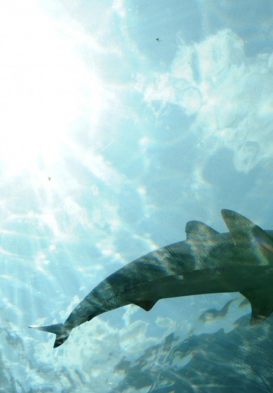 An underwater photograph of a shark swimming in a lagoon.