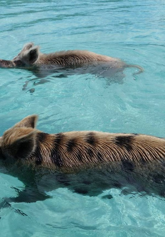 The Bahamas Swimming Pigs Guest Photos