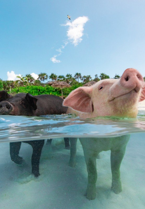 Two pigs swimming in the ocean