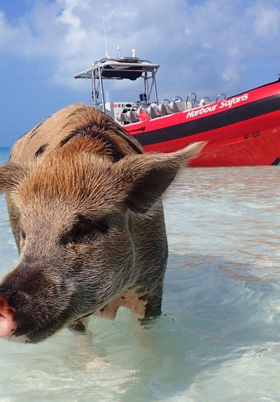 A Bahamian pig strolls through crystal-clear tropical waters.