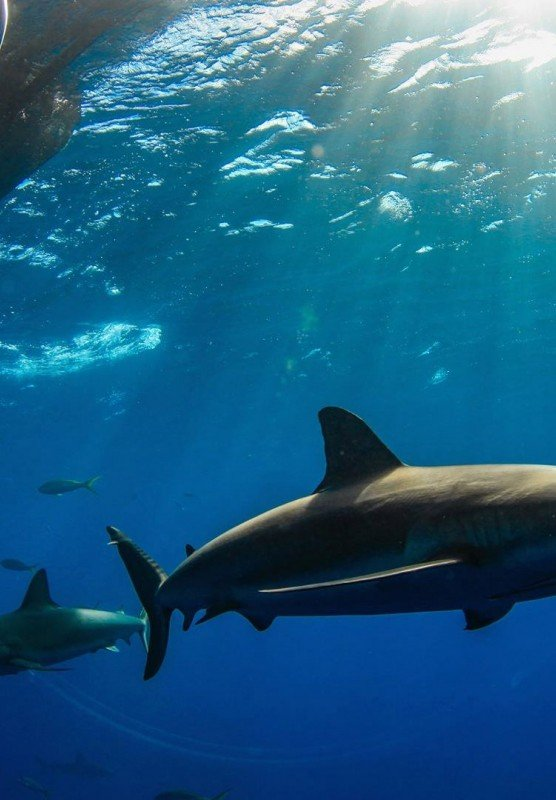An underwater picture of Caribbean reef sharks swimming through the water.
