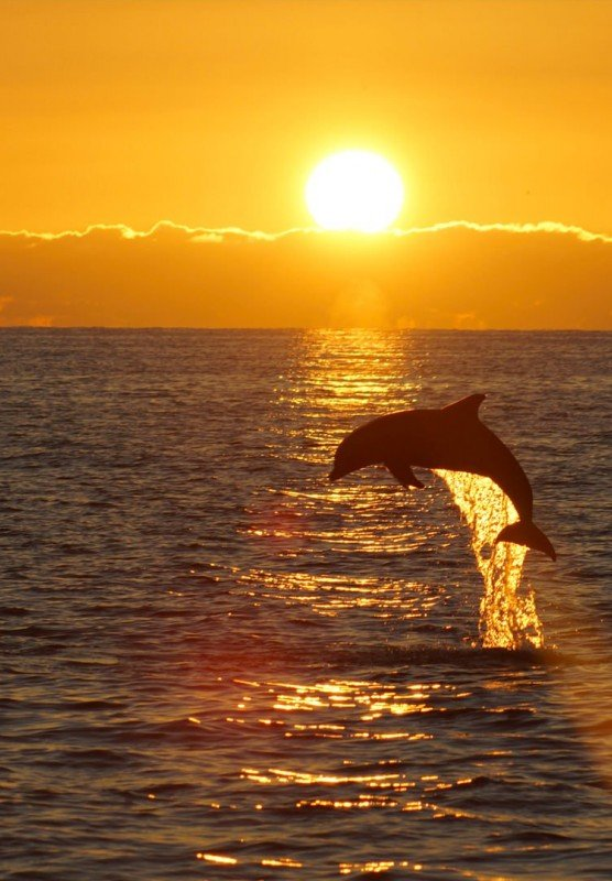 Dolphin jumping up over sunset
