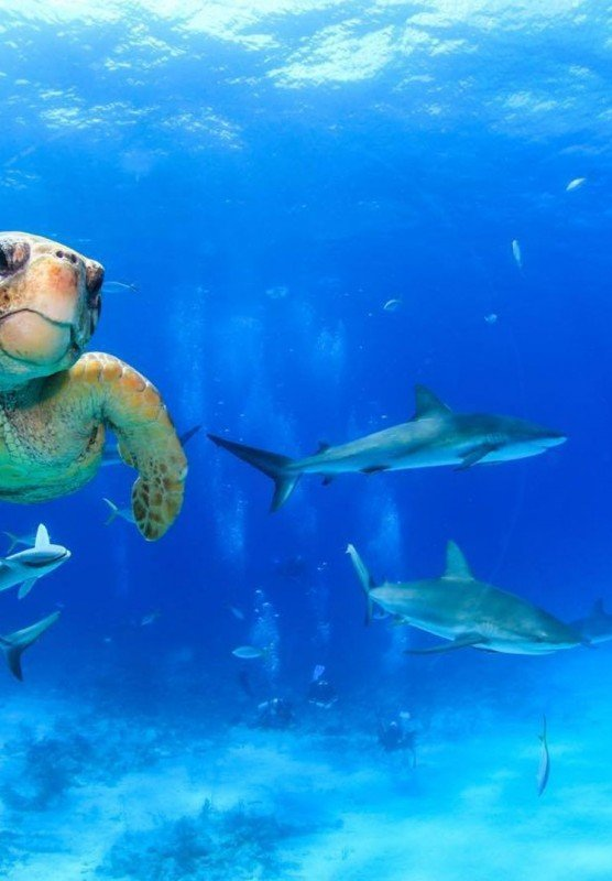 A sea turtle swims through blue tropical waters while a group of sharks swim behind him.
