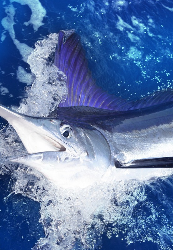 Swordfish in the ocean